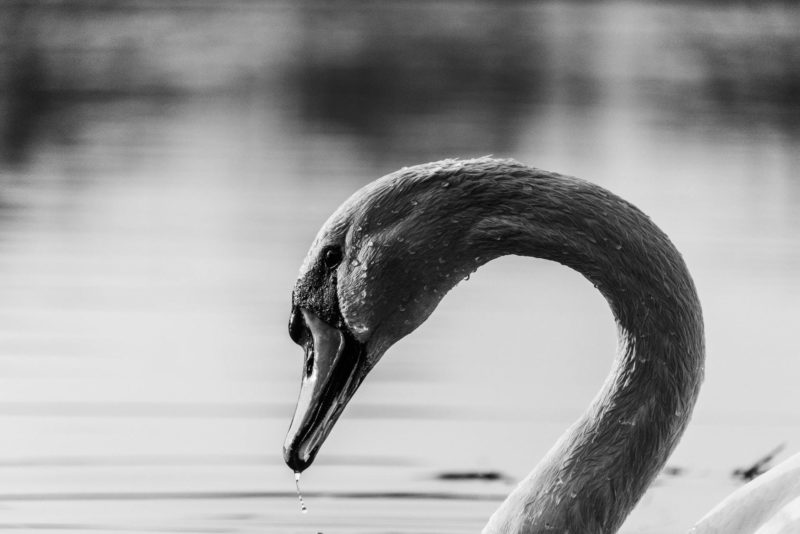 Swan_kacper chrzanowski_unsplash
