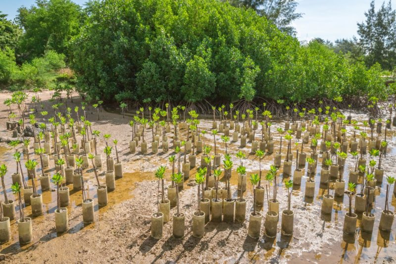 1 Planting mangroves reduces the problem of coastal erosion tapui Adobe Stock 207329411